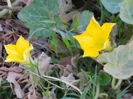 fleur de courge.JPG