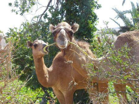 2 chameaux.JPG